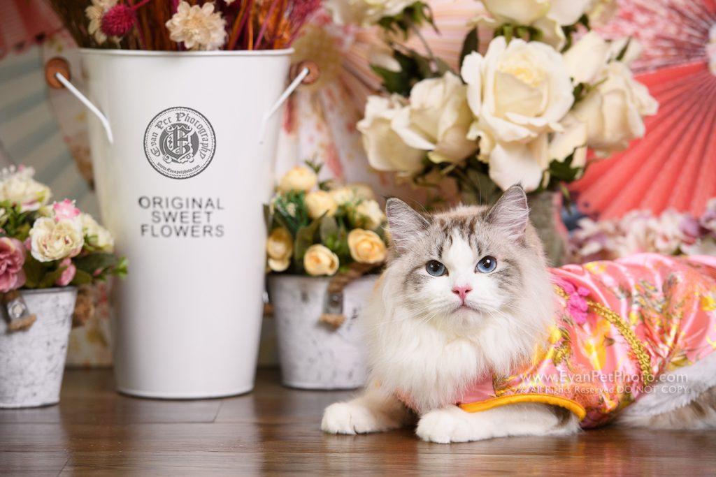 cat Photography, Studio cat Photography, 影樓寵物攝影, 貓影樓, cat photography, 英國短毛貓攝影, 寵物攝影, 寵物影樓, cat studio, 香港寵物影樓, hong kong cat studio, pet studio, 布偶貓, 影貓