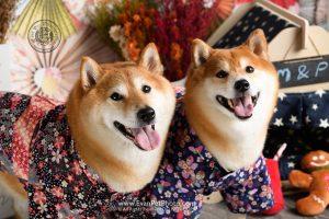 寵物攝影,寵物拍攝,專業寵物攝影,狗狗攝影,寵物寫真,寵物攝影服務,,香港寵物攝影,hong kong pet photographer, pet photography hong kong,寵物攝影師,香港寵物攝影師,dog photography, hong kong dog photography, dog studio, pet studio, dog photographer hong kong,shiba, shiba photography, 柴犬, 柴犬攝影, 狗影樓, 寵物影樓