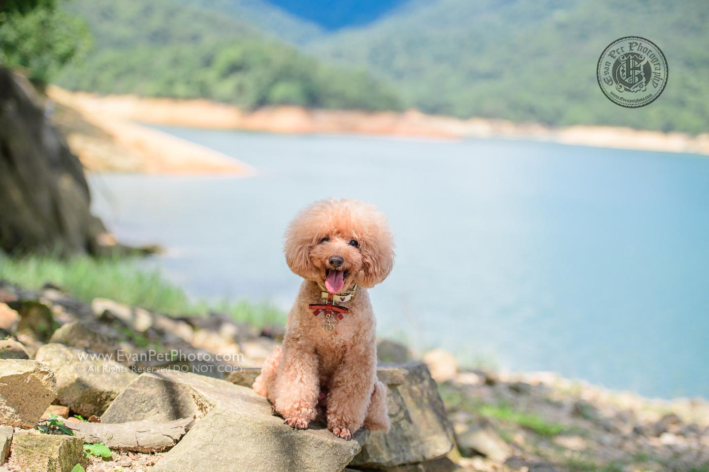 dog photo, dog photography, outdoor dog photography, dog picture, pet photography, pet photographer, dog photographer, hong kong, 寵物攝影,專業寵物攝影,狗狗攝影,寵物寫真,寵物攝影服務,攝影服務,戶外寵物攝影,戶外狗攝影,戶外攝影,戶外狗狗攝影,專業戶外寵物攝影,香港寵物攝影, hong kong pet photographer, 香港寵物攝影師,poodle photography, poodle photo, 貴婦犬, toy poodle, poodle 攝影, 貴婦犬攝影, 城門水塘