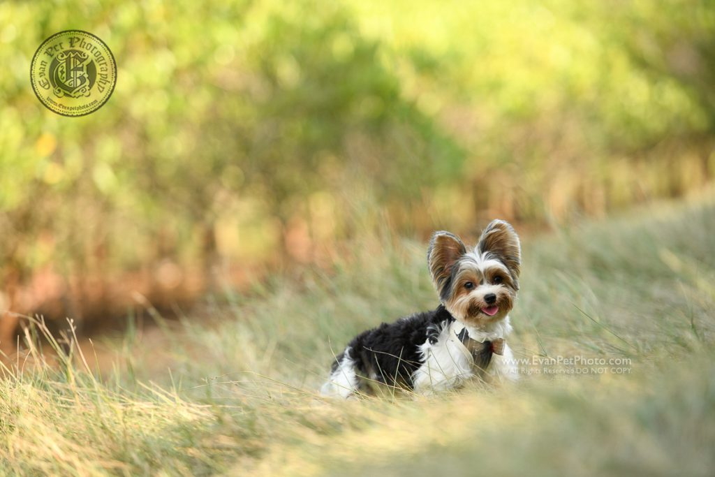 dog photo, dog photography, outdoor dog photography, dog picture, pet photography, pet photographer, dog photographer, hong kong, 寵物攝影,專業寵物攝影,狗狗攝影,寵物寫真,寵物攝影服務,攝影服務,戶外寵物攝影,戶外狗攝影,戶外攝影,戶外狗狗攝影,專業戶外寵物攝影,香港寵物攝影, hong kong pet photographer, 香港寵物攝影師, yorkie, yorkshire, yorkshire terrier, biewer yorki, biewer yorkshire terrier, biewer terrier, 鹿頸